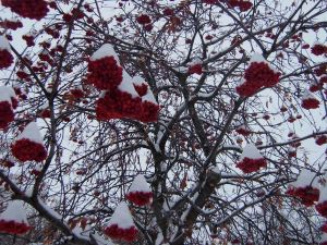 A tree with red berries and white snow.