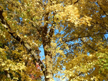 Tree covered in yellow leaves