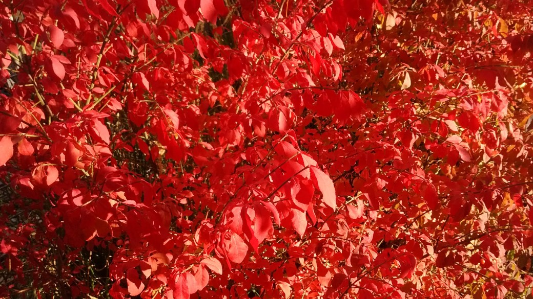 Photo of bright red autumn leaves.